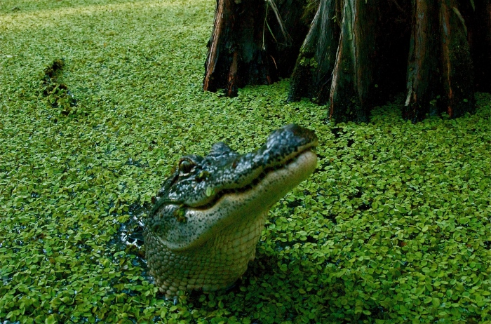 swamp-gator-attack